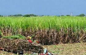 Foto de plantação de Cana-de-açúcar