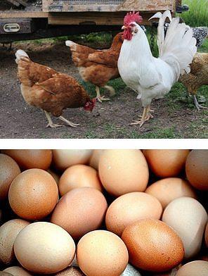 Galo e galinhas na parte de cima e ovos na parte de baixo